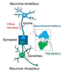 neurone-synapse